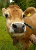 好奇的母牛 免版税图库摄影