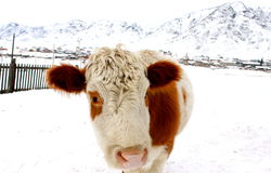 好奇的母牛 库存图片