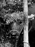 好奇的母牛 库存照片