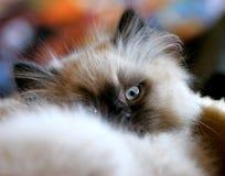 好奇的猫 图库摄影