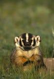 好奇的獾 免版税图库摄影