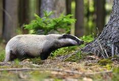 好奇的獾 免版税库存照片
