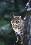 好奇的美洲野猫 免版税库存图片