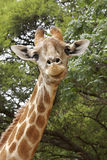 好奇的长颈鹿 免版税库存图片