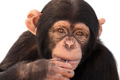 好奇的黑猩猩 免版税库存图片