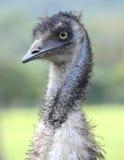 好奇看起来的澳大利亚鸸鸟,北部昆士兰,澳大利亚 免版税库存照片
