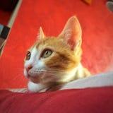 好奇矮小的家猫 免版税库存图片