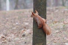 好奇红松鼠坐树在公园和摆在 库存照片