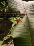 好奇红眼睛的雨蛙 免版税库存照片