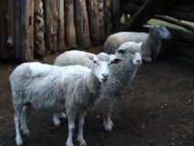好奇绵羊 免版税库存图片