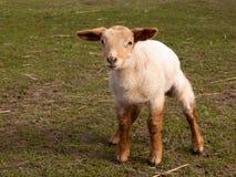 好奇羊羔一点春天 免版税库存照片
