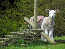 好奇羊羔和母羊在春天 免版税库存图片