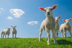 好奇羊羔春天 库存图片