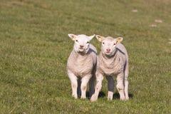 好奇羊羔甜年轻人 免版税库存照片