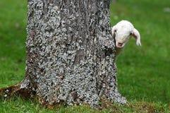 好奇羊羔 免版税库存照片