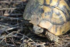 好奇草龟 免版税库存照片