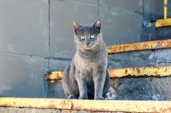 好奇蓝色滑稽的猫坐在松弛姿势的台阶 免版税图库摄影