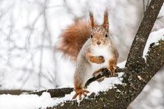 好奇蓬松灰鼠坐树枝反对模糊的wi 免版税库存图片