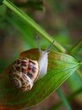 好奇蜗牛在绿色叶子的庭院里 免版税库存图片