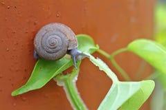 好奇蜗牛在绿色叶子的庭院里 库存图片