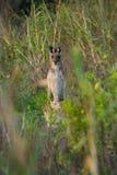 好奇袋鼠在澳大利亚 免版税图库摄影