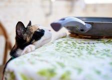 好奇被诱惑的猫 库存图片