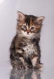 好奇西伯利亚小猫 库存照片