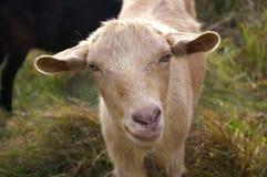 好奇逗人喜爱的山羊 库存照片