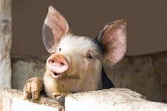 好奇逗人喜爱的猪 库存照片