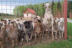 好奇逗人喜爱的绵羊和公羊 库存图片