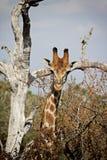 好奇长颈鹿纵向 免版税图库摄影