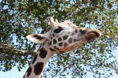 好奇长颈鹿纵向 库存照片