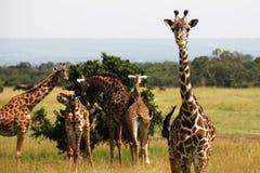 好奇长颈鹿 免版税库存照片