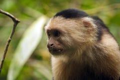 好奇面无血色的连斗帽女大衣猴子 免版税库存照片