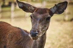 好奇鹿母鹿画象 库存图片