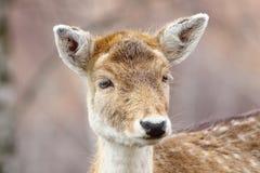 好奇鹿母鹿画象  免版税库存图片