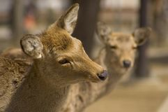 好奇鹿的表达式 免版税图库摄影