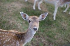 好奇鹿 免版税图库摄影