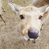 好奇鹿 免版税库存照片