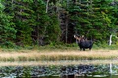 好奇麋在接近湖的森林里 免版税库存照片