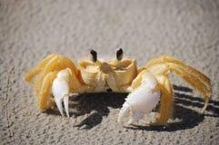 好奇黄色螃蟹 免版税库存照片