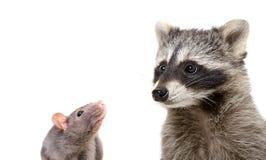 好奇鼠和滑稽的浣熊画象  免版税图库摄影