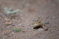好奇,有角的蜥蜴 免版税库存图片