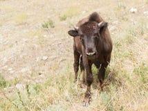 好奇年轻北美野牛 库存照片
