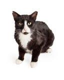 好奇黑白混杂的品种猫开会 库存照片