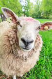 好奇绵羊 图库摄影
