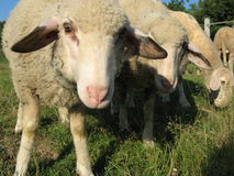 好奇绵羊 免版税库存照片