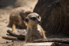 好奇meerkat 免版税库存照片