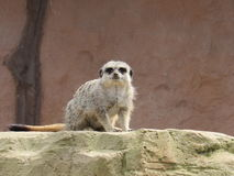 好奇meerkat 库存照片