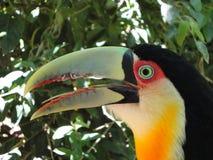 好奇toucan 库存照片
